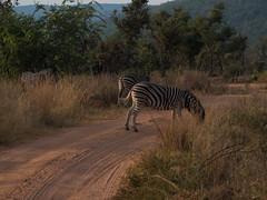 L1010439 (mylesm00re) Tags: africa burchellszebra equusquaggaburchellii limpopo welgevondengamereserve za sebra southafrica