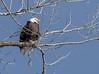 Eagles 1.7.17-3 (alan.forshee) Tags: bald eagles juvenile mature feeding playing tustling flight ice winter bird prey raptor beauty snow tree fish