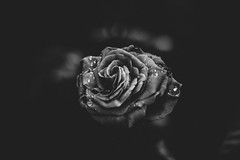 The lonely flower (maxencebrierre) Tags: black blackandwhite roses rose flower flowers natural nature night canon canon60d maxgrey photo photographe photoshop park eos exposure art dark white 60d vsco filter french france f18 garden grain light lightroom