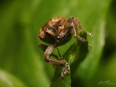 Weevil Stare (striving67) Tags: weevil insects macro bugs snout
