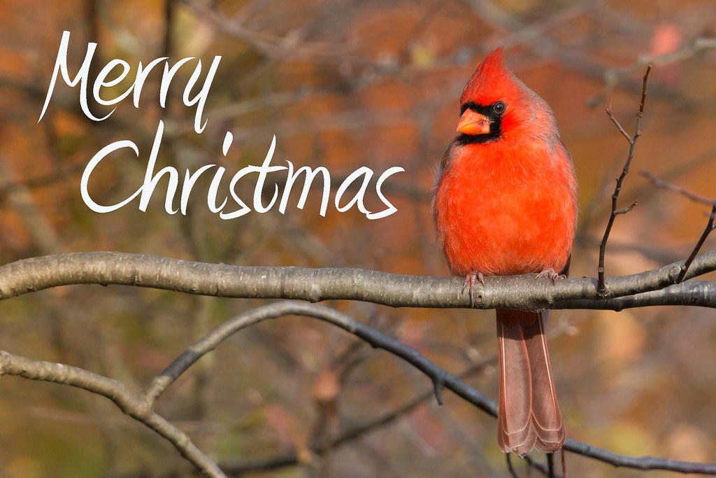 Merry Christmas! (Northern Cardinal)
