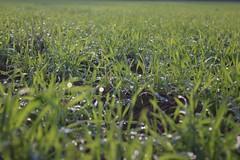 (Henry87pH) Tags: rugiada prato erba grass