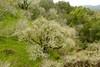 Leafless buckeye trees seen from baby blue eyes site. (openspacer) Tags: aesculus buckeye jasperridgebiologicalpreserve jrbp lichen ramalina sapindaceae tree