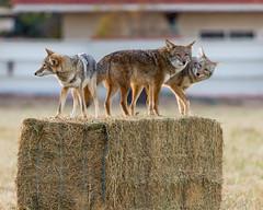 Gorum_161111_6043 (bgorum) Tags: albuquerque animalia bernalilliocounty canislatrans carnivora coyote lospoblanosfieldsopenspace mammalia nature newmexico animals carnivores mammals