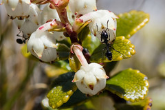 Busy ants (Xtine J) Tags: hawkesbay landscape flowers alpine nature mountains insects alpineflowers kaweka places wildlife
