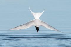 Arctic tern (stenaake) Tags: sternaparadisaea arctictern silvertärna tern diving baltic spring gotland asunden bird water animal nature fauna seabird circumpolar hunting