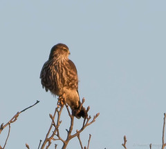 Merlin (Falco columbarius) (Susan Jarnagin) Tags: nj falcocolumbarius mercermeadowspolefarm merlin bird mercercounty falcon
