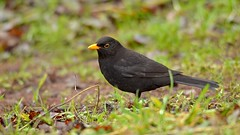 Listening (_J @BRX) Tags: blackbird male black bird binngreen rspb dovestonesreservoir greenfield oldham peakdistrict winter january2017 yanks