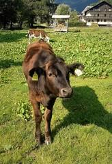 Orecchie belle (Aellevì) Tags: vitellocurioso montagna pascolo pontedilegno orecchini filiera targhette targa