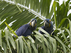 Brazil (richard.mcmanus.) Tags: brazil pantanal southamerica animal bird parrot macaw hyacinthmacaw mcmanus wildlife gettyimages rainforest