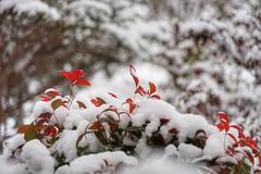 Nandina in snow (JPShen) Tags: nandina bamboo heavenly red white snow bokeh plant