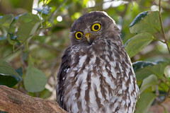 Barking Owl 2 (petefeats) Tags: australia barkingowl birds goldcoast nature ninoxconnivens queensland strigiformes schusterpark strigidae