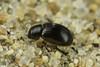Aegialia sp. (aliceinwl1) Tags: aegialia aegialiini aphodiinae aphodiinedungbeetle arthropod arthropoda ca california coleoptera guadalupe insect insecta osoflaco osoflacodunes osoflacolake polyphaga sanluisobispocounty scarabbeetle scarabaeidae scarabaeoidea beetle locpublic viseveryone