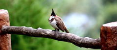 BulBul (Indian Nightingale) (keedap) Tags: birds robin jay small coonoor india ooty bangalore deepak