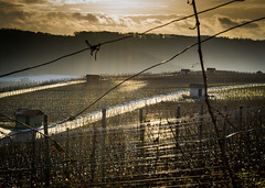 Vine (matthias schroers) Tags: vine outdoor nature enz hill sun cloud wolke winter kalt cold wein weinberg fluss weinreben wolken sonnenuntergang sunset reflections reflektionen