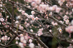 20160206-IMG_4817 (nut_cookie) Tags: flower flowers nature macrophotography plumblossoms