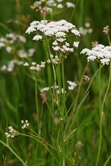 Oenanthe lachenalii. Parsley Water-dropwort. (All Botanical Photography) Tags: oenanthelachenalii parsleywaterdropwort waterdropwort apiaceae umbelliferae