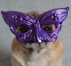 Who's Behind That Mask? (DaPuglet) Tags: pug pugs dog dogs animal animals mask masquerade funny cute littledoglaughedstories pet pets mardigras