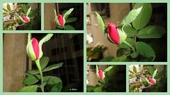 Colagem de botões de rosa. (o.dirce) Tags: botões colagem mosaico flor rosa vermelha red planta vegetação odirce natureza nature