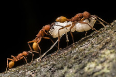 Spoils of War (antonsrkn) Tags: ectatomma tuberculatum eciton hamatum orange army ant ants insects bug bugs feeding predation macro closeup entomology peru tropics tropical attack myrmecology behavior jungle nikon nikkor southamerica cordillera escalera conervation area