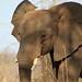 African Bush Elephant: Loxodonta africana