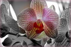 Orqudea 006 (p_s_v) Tags: naturaleza flores flora orqudea