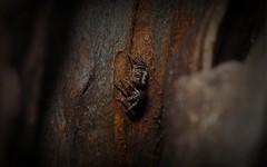 Servaea incana 4 (dustaway) Tags: nature australia queensland jumpingspider arachnida salticidae sequeensland araneomorphae australianspiders australianfauna loganvalley euophryinae servaeaincana hoaryservaea spideronbark