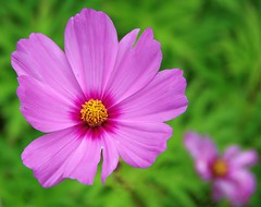 If You Stay in the Sun for Too Long You Are Bound to Go a Little Pink! (antonychammond) Tags: pink plant flower garden ngc npc cosmos fantasticflower excellentsflowers natureselegantshots flowerarebeautiful thebestofmimamorsgroups herbaceousperennialplants theoriginalgoldseal