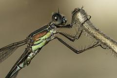 Chalcolestes viridis. Macho. Male (Ricardo Menor) Tags: lestesviridis macho male primerplano 2013 villena ojos alicante odonata zygópteros virtudes caballitos libélulas