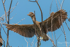 Juvenile Black-crowned Night Heron spreads its wings