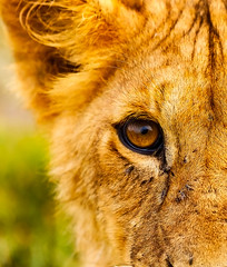 Eye to Eye (markrellison) Tags: wild animal cat cub kenya wildlife hunting lion 300mm safari bigcat flies f28 stalking exodus lightroom bigfive masaimara eastafrica buzzing pantheraleo iso1000 paulgoldstein 1640sec ef300mmf28lisusm lrcc canoneos5dmarkiii maranorthconservancy lightroomcc