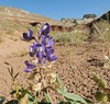Lupinus flavoculatus (Yelloweyes) (Turtlerangler) Tags: utah kane fabaceae grandstaircase lupinus blueflowers