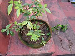 Mix de Jabuticaba Goiaba Mixirica (1) (jemaambiental) Tags: mamadeira jabuticaba bonsais goiaba mixirica prébonsais bonsaístas preparaçãodebonsais mixdeespécies