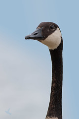 Park Bully (_BirdsTheWord_) Tags: portrait canada nature birds closeup canon goose bully 70d canonef40056l