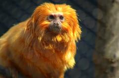 thinking-edited (Brandywine Zoo) Tags: golden lion tamarins