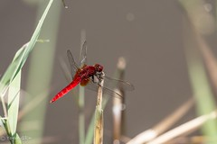 Dragonfly (Yorkey&Rin) Tags: summer japan dragonfly july olympus 夏 kanagawa rin fujisawa kugenuma 2015 藤沢市 em5 7月 トンボ pc236619 olympusm75300mmf4867ii 鵠沼はす池