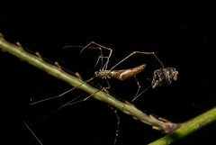 Aranha Rhomphaea sp ♀ (Theridiidae, Argyrodinae) a (Enio Branco) Tags: nature rainforest wildlife natureza bugs macrophotography mataatlântica macromundo artropods sosmataatlântica macromaniaanimalgroup