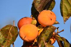 Diospyros kaki (esta_ahi) Tags: diospyros kaki diospyroskaki caqui palosanto ebenaceae fruta fruto árbol frutal cultivado flora fontrubí penedès barcelona spain españa испания antonividal
