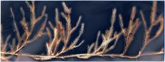 Lycopodium (batuda) Tags: lumen print photogram analog analogue paper kodak polymax 9x24 grass plant botanical botany forest wood lycopodium lycopodiumclavatum stagshornclubmoss vyžiai šinkūnai tauragnai utena lithuania lietuva altprocess