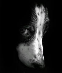 Brandy (SteveH1972) Tags: dog dogs portraiture portraits portrait animal animals rescuedog cute huawei p9plus mobile phone blackandwhite monochrome bw face northenengland northlincolnshire bartonuponhumber
