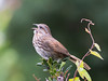 Outdoor Song. (Omygodtom) Tags: real bokeh bird contrast composition common songsparrow senery setting scene singing song wild wildflower nikon nikkor digital star nature natural naturelovers nikon70300mmvrlens d7100 dof detail crop