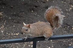 New York : les écureuils