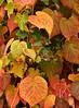 Autumn LBG Oct 16 - 28 (Lostash) Tags: nature life plants flora leaves autumnal autumn seasons leicesterbotanicalgardens