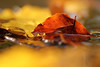 Sail away (Pog's pix) Tags: water stream leaves autumn seasonal bokeh nature outdoor outside outdoors ayrshire scotland macro detail light autumnal colourful eastayrshire dunlop closeup backlit sailing floating fallenleaves golden yellow brown