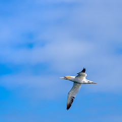 Fou (maximfr) Tags: animal animals avain aves bird birds foudebassan gannet oiseau oiseaudemer seabird seabirds wildlife