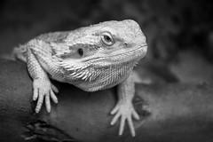 Axe Valley Wildlife Park - Bearded Dragons (myfrozenlife) Tags: devon dorset nature axevalleywildlifepark mono axminster zoo blackandwhite england blackwhite animals canon beardeddragons 7d farm kilmington unitedkingdom gb