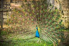 fier ! (Paucal) Tags: paon peacock roue proud fier leica m9 noctilux50 f095