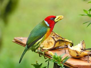 Torito Cabecirrojo, Red-headed Barbet (Eubucco bourcierii)