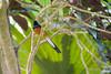 Copsychus Malabaricus - White-rumped Shama (FerencSeitzPhotography) Tags: ferencseitzphotography kaua whiterompedshama copsychus malabaricus kauai bird songbird hawaii steelgrassfarm steelgrass farm