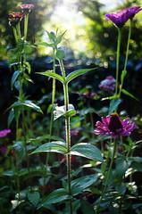 among the zinnias (ΞSSΞ®®Ξ) Tags: ξssξ®®ξ pentax k5 bokeh garden lazio italy perspective verticalformat depthoffield autumn outdoor purple flowers backlight kepcorautowideanglemc28mm128 bright zinnia
